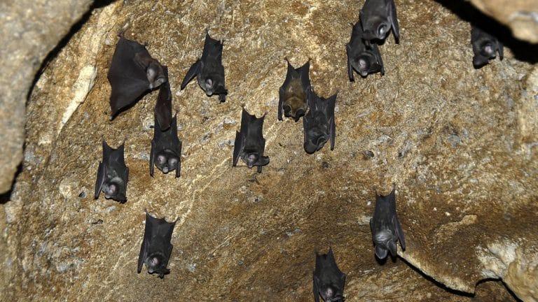 Did SARS-Covid 19 originate in bats?